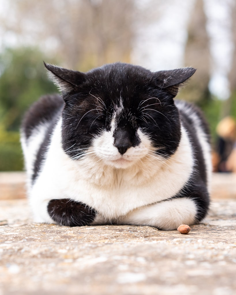 Kot w Alhambrze w Granadzie
